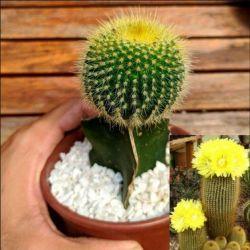 Eriocactus leninghausii (enxerto vaso11)