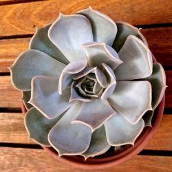 Echeveria lilacina (vaso11)