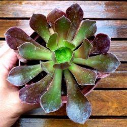 Aeonium arboreum (vaso11)