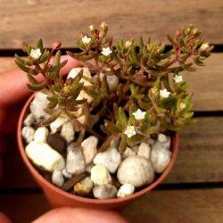 Crassula humbertii (vaso7)