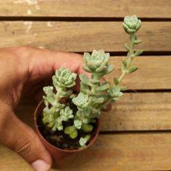 Echeveria prolifica (vaso6)