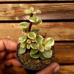 Portulacaria afra variegata (vaso6)