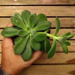 Echeveria coccinea (vaso11)
