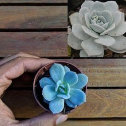 Echeveria Caly Argentea (baby vaso6)