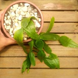 Rhipsalis oblonga (cuia13)