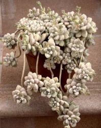 Graptopetalum mendonzae (vaso6)
