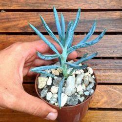 Senecio serpens (Senecio azul) vaso9