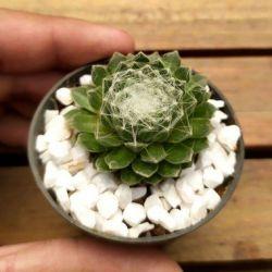 Sempervivum arachnoideum (vaso6)
