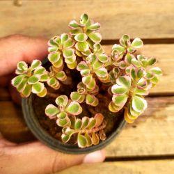 Sedum spurium variegata (vaso6)