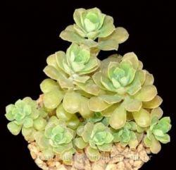 Graptopetalum fruticosum (vaso7)