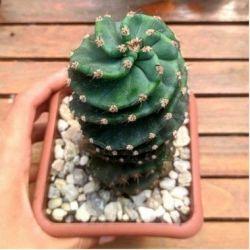 Cacto parafuso (17cm)