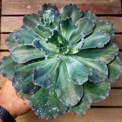 Echeveria 'Blue Waves' (gigante 20cm)