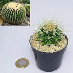 Echinocactus grusonii (poltrona de sogra) vaso7