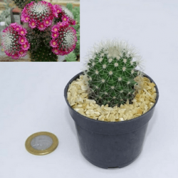 Mammillaria backebergiana ernestii (vaso6)