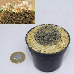 Mammillaria heyderi (vaso6)