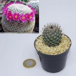 Mammillaria lanata (vaso6)