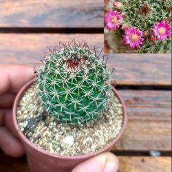 Mammillaria mystax (vaso6)
