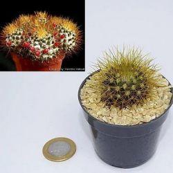 Mammillaria nivosa (vaso6)
