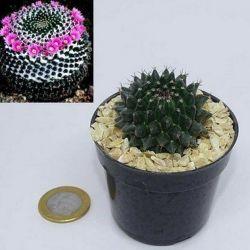 Mammillaria orcuttii (vaso6)