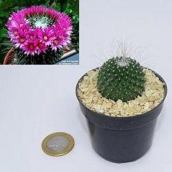Mammillaria spinosissima cv un pico (vaso6)
