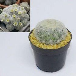Mammillaria plumosa (vaso6)
