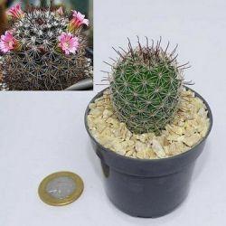 Mammillaria duoformis f. tenango del valle (vaso6)