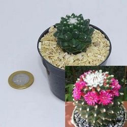 Mammillaria toluca (vaso6)
