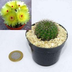 Notocactus muricactus (vaso6)