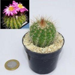 Notocactus purpureus (vaso6)