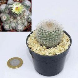 Notocactus scopa (vaso6)
