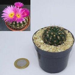 Notocactus uebelmanianus (vaso6)