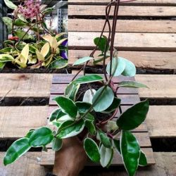 Hoya carnosa variegata (vaso 15)