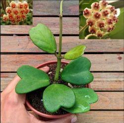 Hoya kerrii (planta coração - 1 haste com várias folhas)