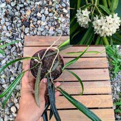 Hoya sheperdii (vaso 11)