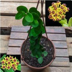 Hoya cumingiana (30cm)