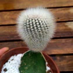 Notocactus scopa (enxerto vaso11)