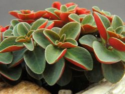 Peperomia verticillata 'Red Log' (vaso6)