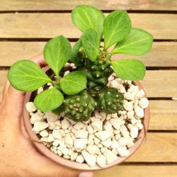 Monadenium ritchiei (colônia cuia13)