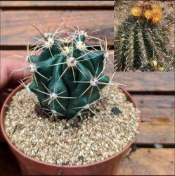 Ferocactus horridus (vaso6)