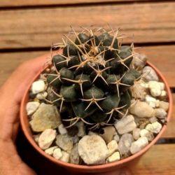 Mammillaria magnimama (vaso7)