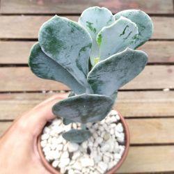 Cotyledon orbiculata (vaso11)