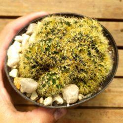 Mammillaria prolifera cristata (cacto cérebro - vaso11)