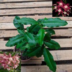Hoya imperialis pink (1 haste com 1 ramificação 30cm)