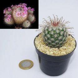 Mammillaria bombycina (vaso6)