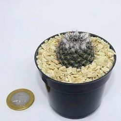 Mammillaria woodzii (vaso6)