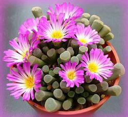 Frithia pulchra (vaso6)