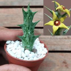 Orbea gemugofana (1 haste)