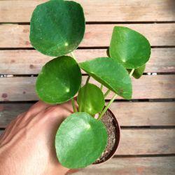 Pilea peperomioides (vaso9)