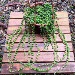 Colar de pérolas (Senecio rowleyanus - cuia13)