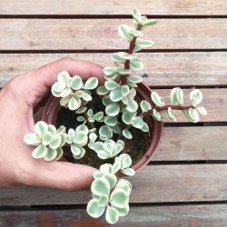Portulacaria afra variegata (vaso11)